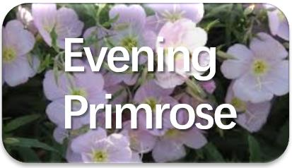 Evening-Primrose-oil-extraction