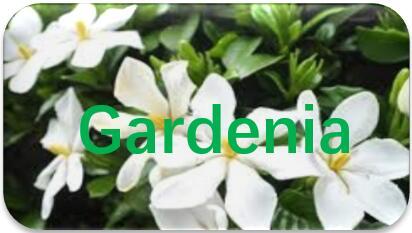 Gardenia-extraction