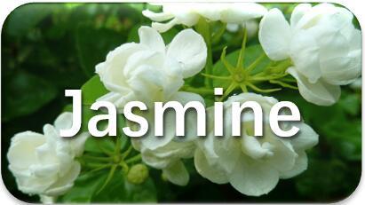 Jasmine-etraction