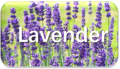 Lavender-oil-extraction