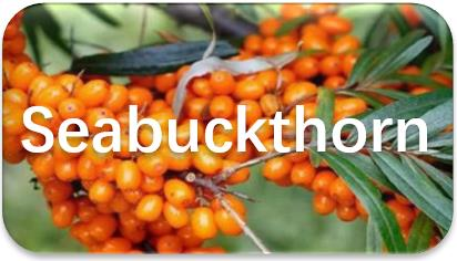 Seabuckthorn-seed-oil-extraction